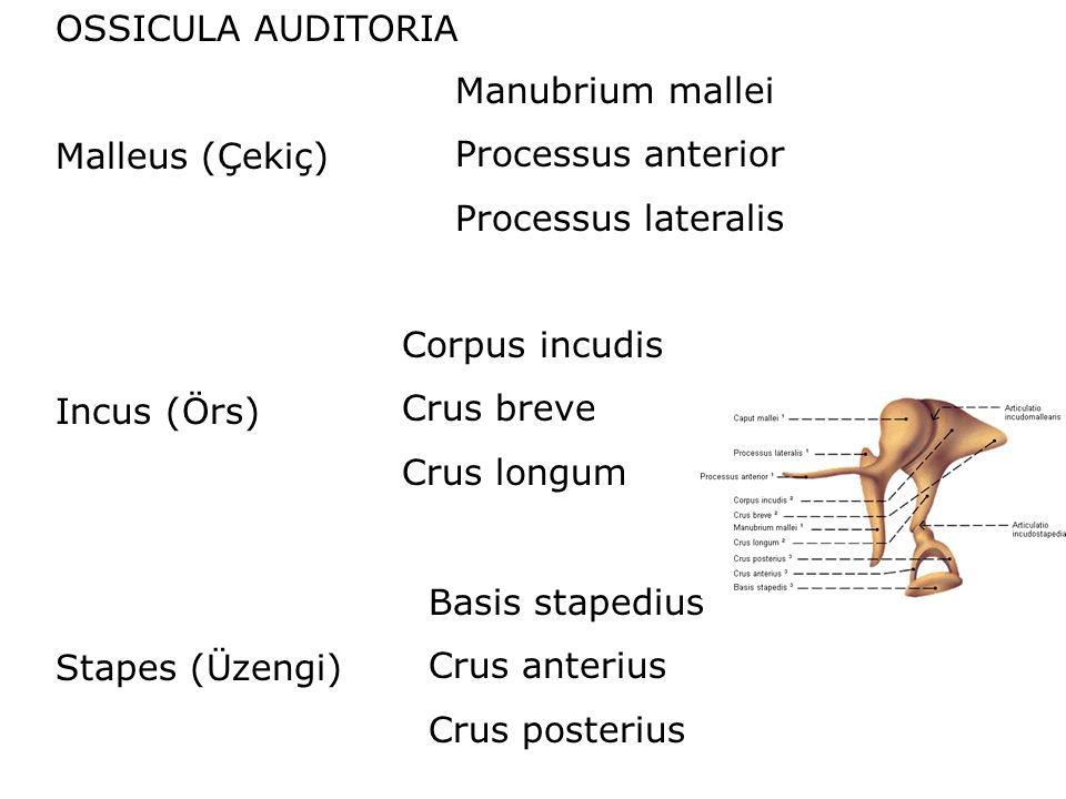 Malleus (Çekiç) Incus (Örs) Stapes (Üzengi) Manubrium mallei Processus anterior Processus lateralis Corpus incudis Crus breve Crus longum Basis stapedius Crus anterius Crus posterius