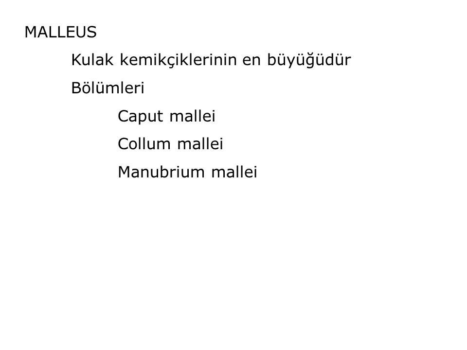 MALLEUS Kulak kemikçiklerinin en büyüğüdür Bölümleri Caput mallei Collum mallei Manubrium mallei