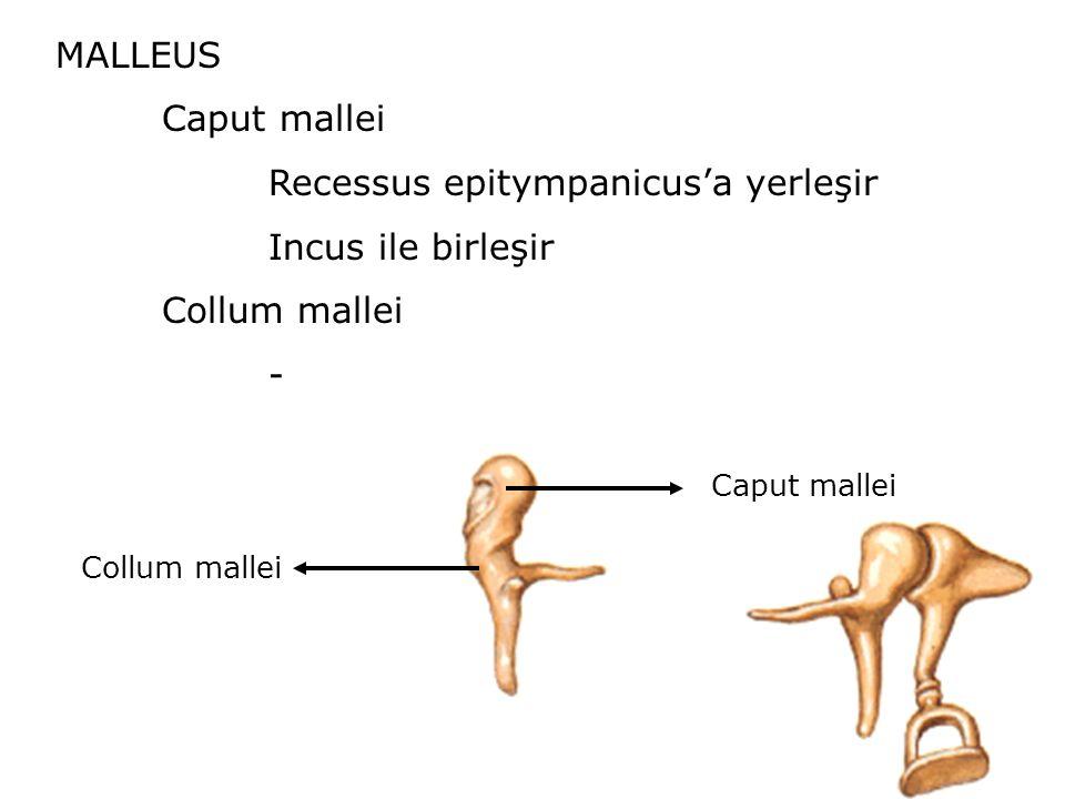 MALLEUS Caput mallei Recessus epitympanicus'a yerleşir Incus ile birleşir Collum mallei - Caput mallei Collum mallei