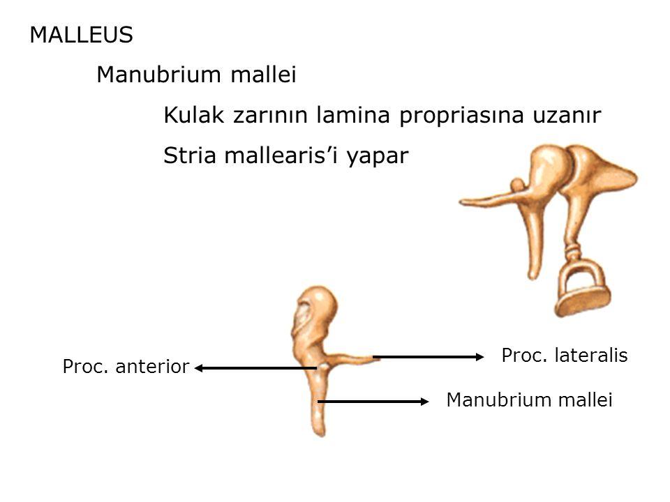 MALLEUS Manubrium mallei Kulak zarının lamina propriasına uzanır Stria mallearis'i yapar Proc.