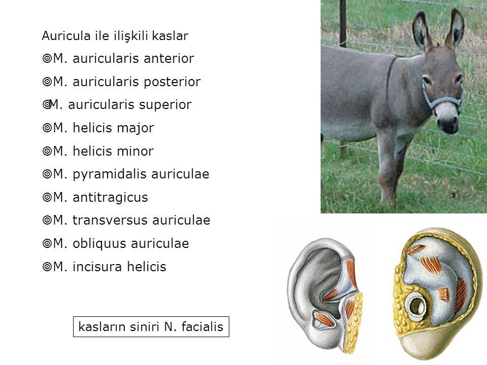 Auricula ile ilişkili kaslar  M. auricularis anterior  M. auricularis posterior  M. auricularis superior  M. helicis major  M. helicis minor  M.