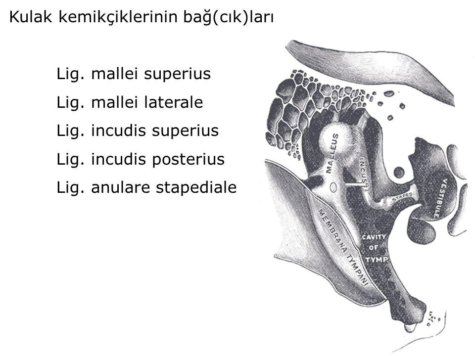 Kulak kemikçiklerinin bağ(cık)ları Lig. mallei superius Lig. mallei laterale Lig. incudis superius Lig. incudis posterius Lig. anulare stapediale
