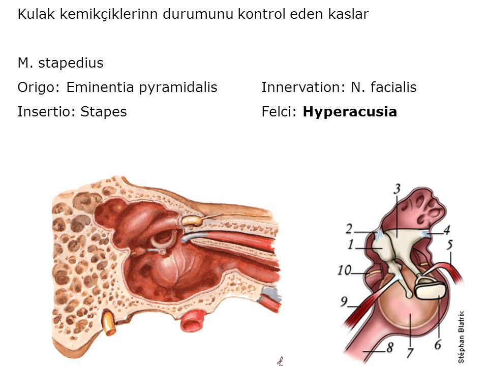 Kulak kemikçiklerinn durumunu kontrol eden kaslar M. stapedius Origo:Eminentia pyramidalisInnervation: N. facialis Insertio: StapesFelci: Hyperacusia