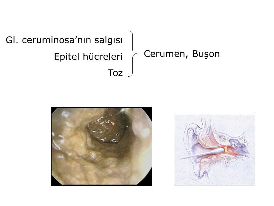 Gl. ceruminosa'nın salgısı Epitel hücreleri Toz Cerumen, Buşon