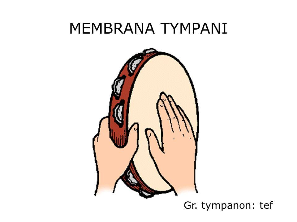 MEMBRANA TYMPANI Gr. tympanon: tef