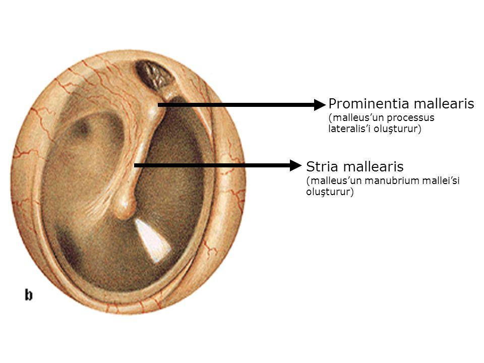 Prominentia mallearis (malleus'un processus lateralis'i oluşturur) Stria mallearis (malleus'un manubrium mallei'si oluşturur)