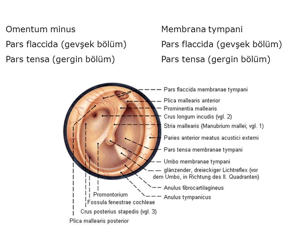 Omentum minus Pars flaccida (gevşek bölüm) Pars tensa (gergin bölüm) Membrana tympani Pars flaccida (gevşek bölüm) Pars tensa (gergin bölüm)