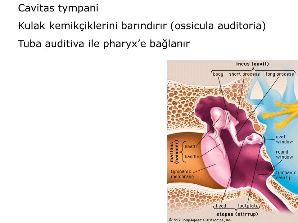 Cavitas tympani Kulak kemikçiklerini barındırır (ossicula auditoria) Tuba auditiva ile pharyx'e bağlanır