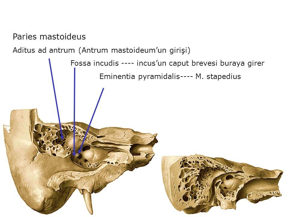 Paries mastoideus Aditus ad antrum (Antrum mastoideum'un girişi) Fossa incudis ---- incus'un caput brevesi buraya girer Eminentia pyramidalis---- M. s