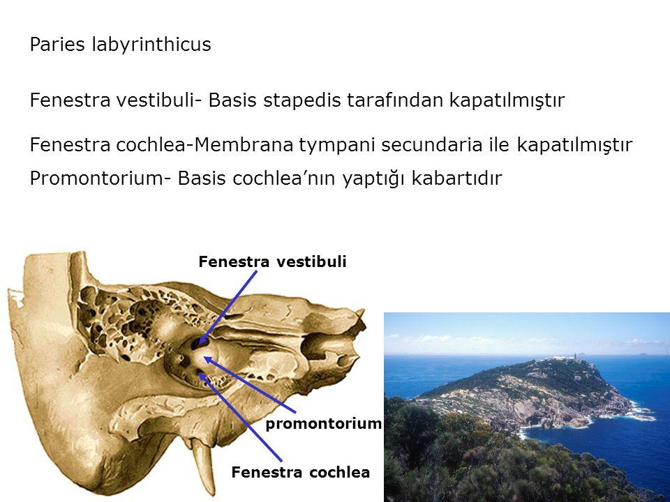 Paries labyrinthicus Fenestra vestibuli- Basis stapedis tarafından kapatılmıştır Fenestra cochlea-Membrana tympani secundaria ile kapatılmıştır Promontorium- Basis cochlea'nın yaptığı kabartıdır Fenestra vestibuli Fenestra cochlea promontorium