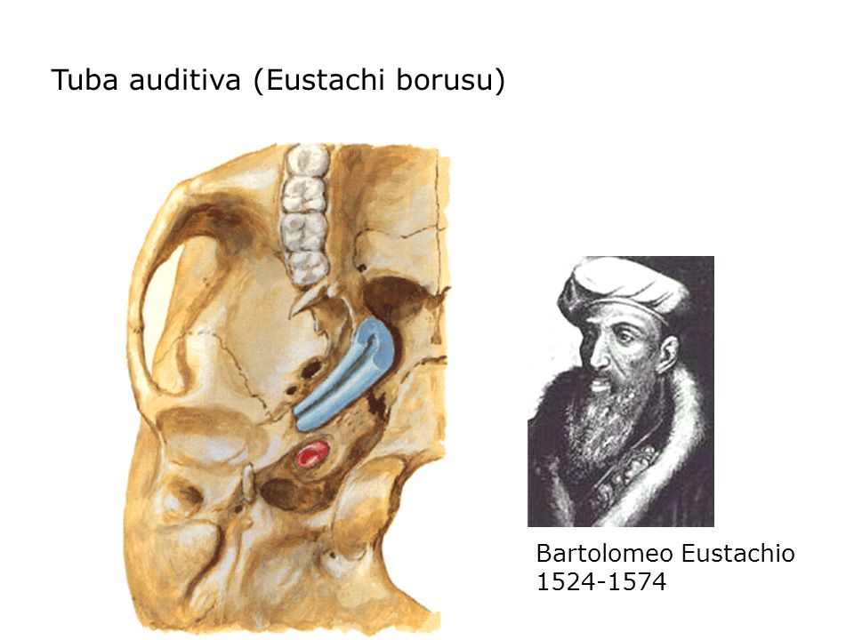 Tuba auditiva (Eustachi borusu) Bartolomeo Eustachio 1524-1574
