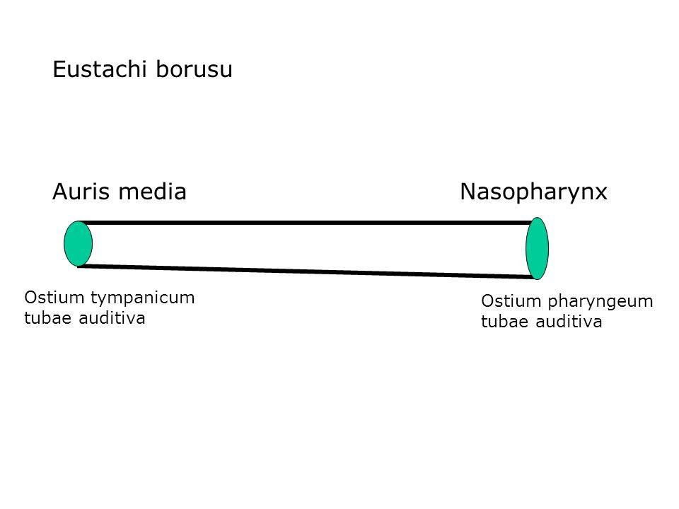 Eustachi borusu Auris mediaNasopharynx Ostium pharyngeum tubae auditiva Ostium tympanicum tubae auditiva