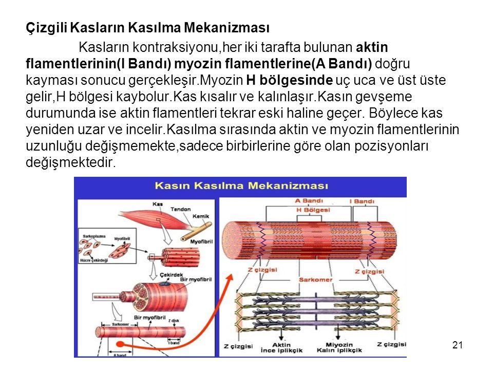 Çizgili Kasların Kasılma Mekanizması Kasların kontraksiyonu,her iki tarafta bulunan aktin flamentlerinin(I Bandı) myozin flamentlerine(A Bandı) doğru kayması sonucu gerçekleşir.Myozin H bölgesinde uç uca ve üst üste gelir,H bölgesi kaybolur.Kas kısalır ve kalınlaşır.Kasın gevşeme durumunda ise aktin flamentleri tekrar eski haline geçer.