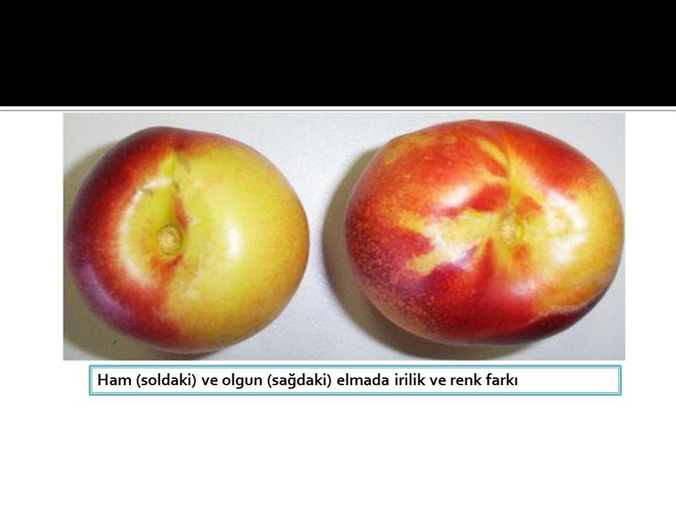 Ham (soldaki) ve olgun (sağdaki) elmada irilik ve renk farkı