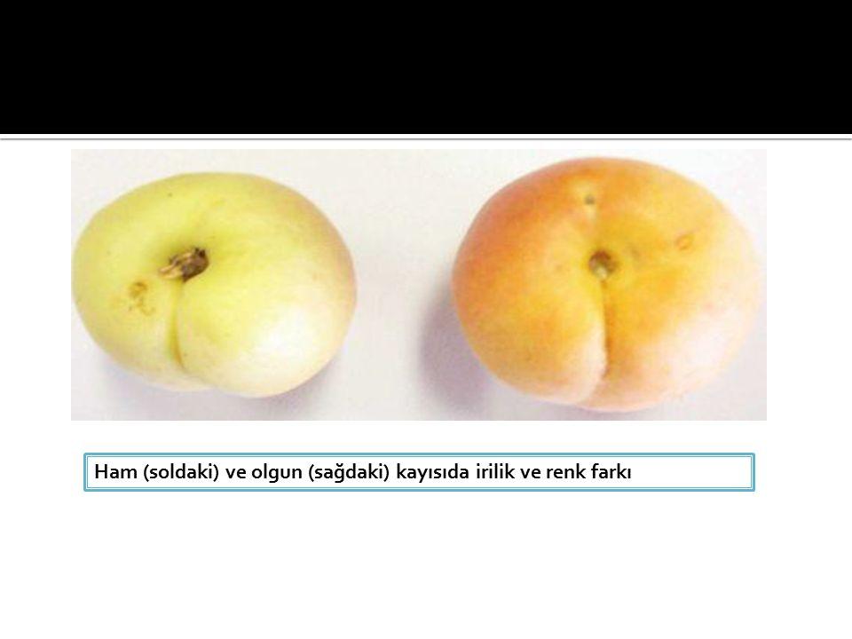 Ham (soldaki) ve olgun (sağdaki) kayısıda irilik ve renk farkı