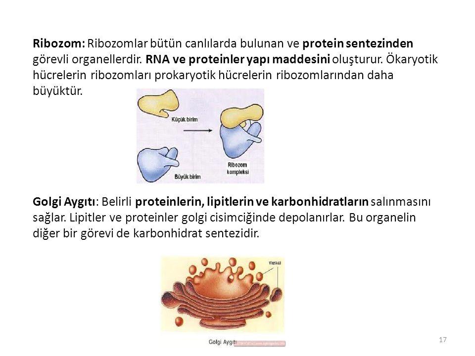 Ribozom: Ribozomlar bütün canlılarda bulunan ve protein sentezinden görevli organellerdir. RNA ve proteinler yapı maddesini oluşturur. Ökaryotik hücre
