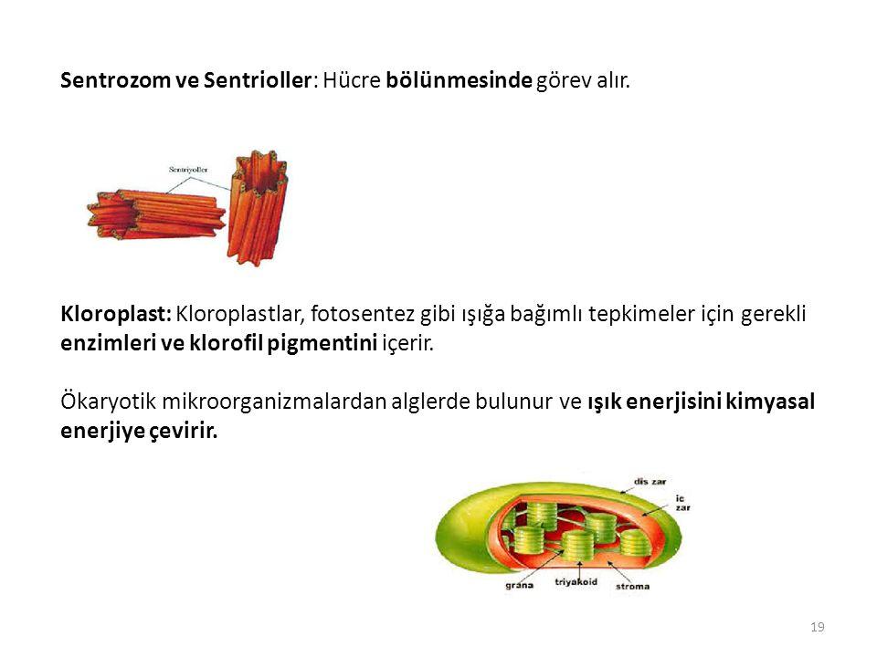 Sentrozom ve Sentrioller: Hücre bölünmesinde görev alır. Kloroplast: Kloroplastlar, fotosentez gibi ışığa bağımlı tepkimeler için gerekli enzimleri ve