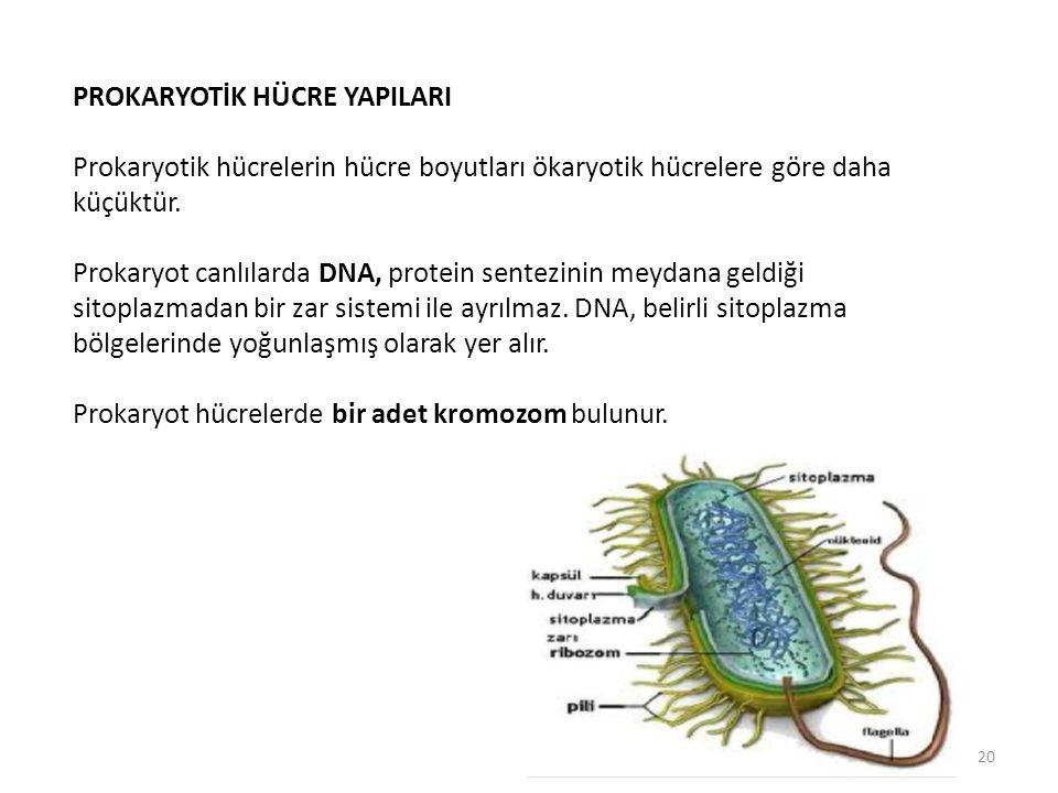 PROKARYOTİK HÜCRE YAPILARI Prokaryotik hücrelerin hücre boyutları ökaryotik hücrelere göre daha küçüktür. Prokaryot canlılarda DNA, protein sentezinin