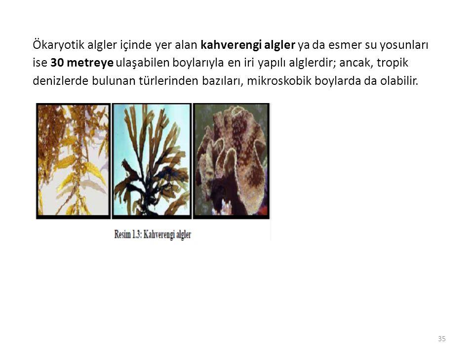 Ökaryotik algler içinde yer alan kahverengi algler ya da esmer su yosunları ise 30 metreye ulaşabilen boylarıyla en iri yapılı alglerdir; ancak, tropi