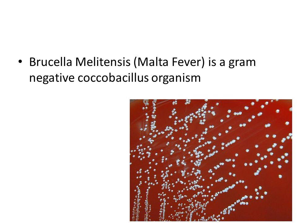 Brucella Melitensis (Malta Fever) is a gram negative coccobacillus organism