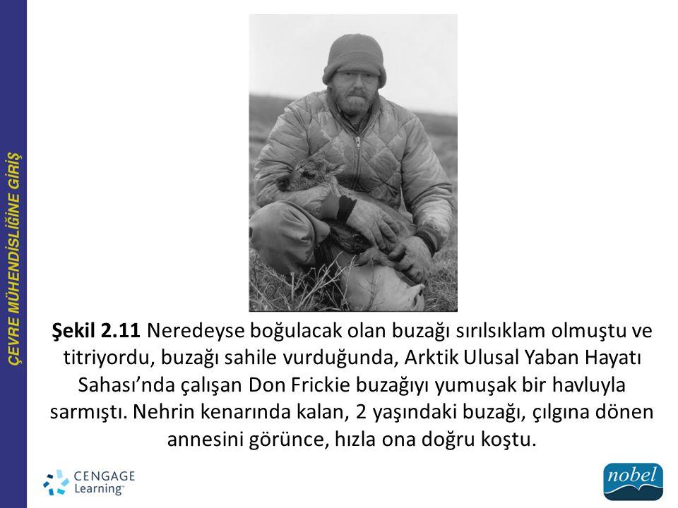 Şekil 2.11 Neredeyse boğulacak olan buzağı sırılsıklam olmuştu ve titriyordu, buzağı sahile vurduğunda, Arktik Ulusal Yaban Hayatı Sahası'nda çalışan Don Frickie buzağıyı yumuşak bir havluyla sarmıştı.
