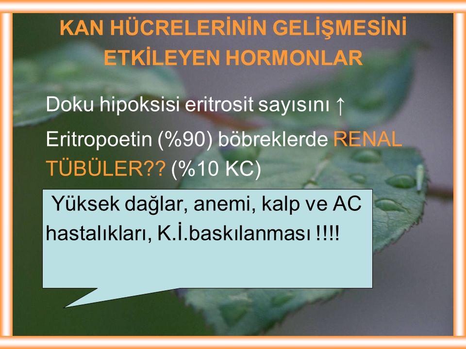 KAN HÜCRELERİNİN GELİŞMESİNİ ETKİLEYEN HORMONLAR Doku hipoksisi eritrosit sayısını ↑ Eritropoetin (%90) böbreklerde RENAL TÜBÜLER?? (%10 KC) Yüksek da