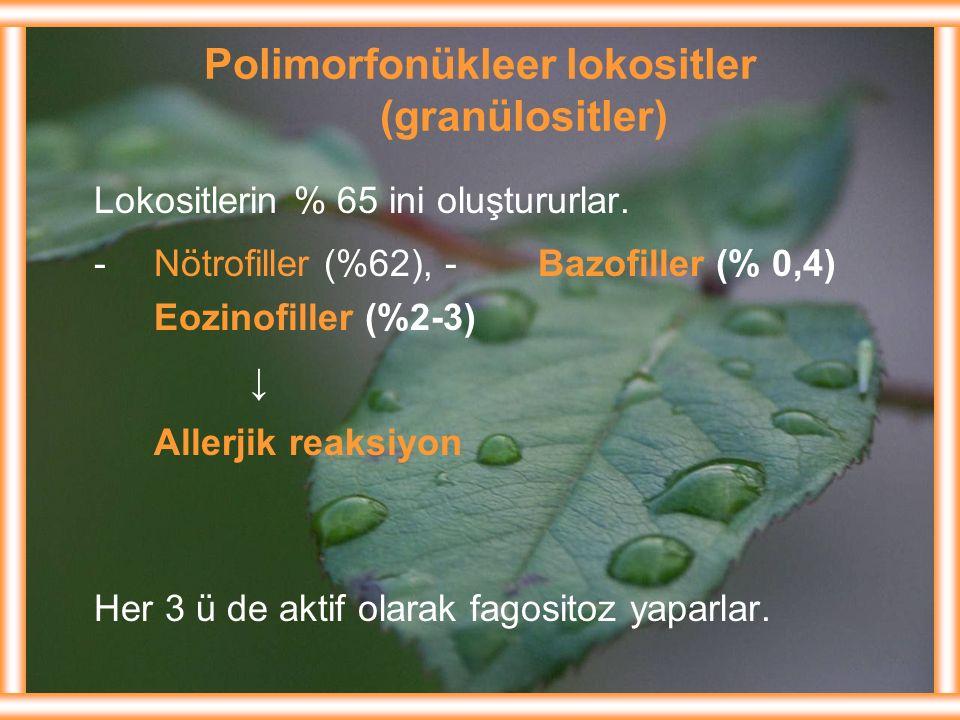Polimorfonükleer lokositler (granülositler) Lokositlerin % 65 ini oluştururlar. -Nötrofiller (%62), -Bazofiller (% 0,4) Eozinofiller (%2-3) ↓ Allerjik