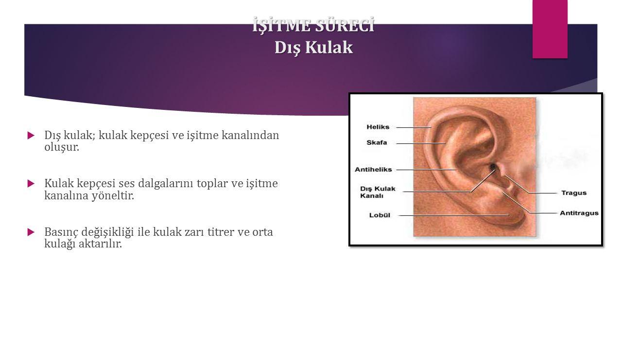 İŞİTME SÜRECİ Dış Kulak  Dış kulak; kulak kepçesi ve işitme kanalından oluşur.