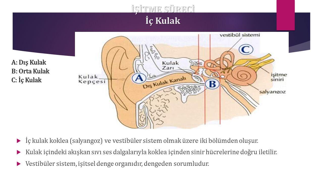 İŞİTME SÜRECİ İç Kulak  İç kulak koklea (salyangoz) ve vestibüler sistem olmak üzere iki bölümden oluşur.