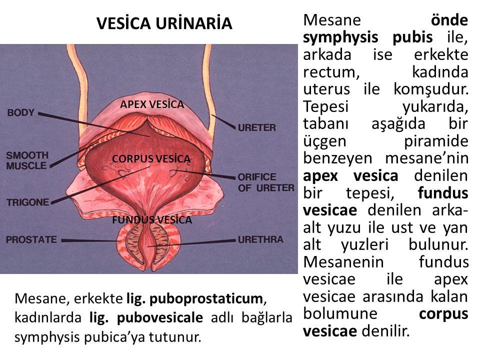 Mesane önde symphysis pubis ile, arkada ise erkekte rectum, kadında uterus ile komşudur. Tepesi yukarıda, tabanı aşağıda bir üçgen piramide benzeyen m