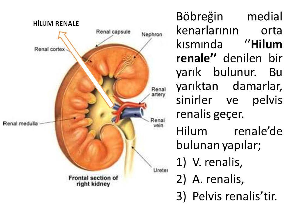 Böbreğin medial kenarlarının orta kısmında ''Hilum renale'' denilen bir yarık bulunur. Bu yarıktan damarlar, sinirler ve pelvis renalis geçer. Hilum r