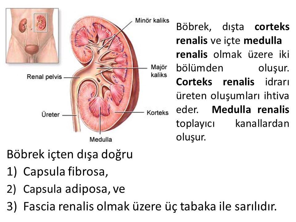 Böbrek içten dışa doğru 1)Capsula fibrosa, 2)Capsula adiposa, ve 3)Fascia renalis olmak üzere üç tabaka ile sarılıdır. Böbrek, dışta corteks renalis v
