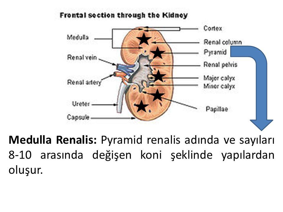Medulla Renalis: Pyramid renalis adında ve sayıları 8-10 arasında değişen koni şeklinde yapılardan oluşur.