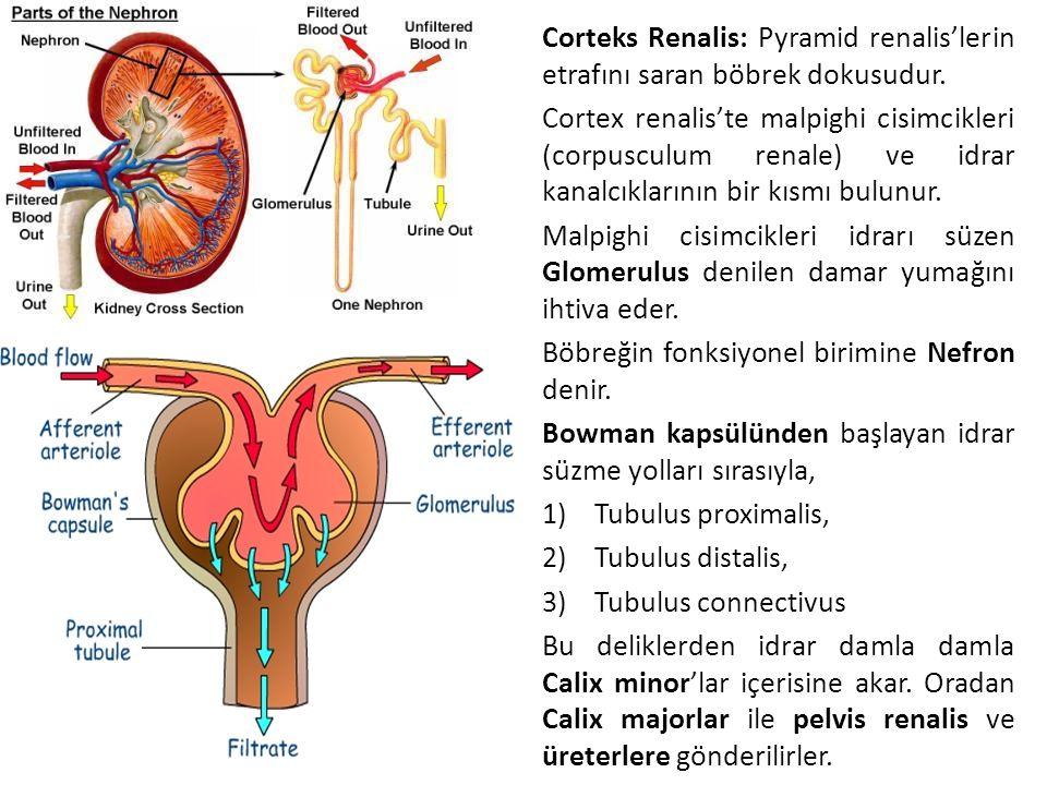 Corteks Renalis: Pyramid renalis'lerin etrafını saran böbrek dokusudur. Cortex renalis'te malpighi cisimcikleri (corpusculum renale) ve idrar kanalcık