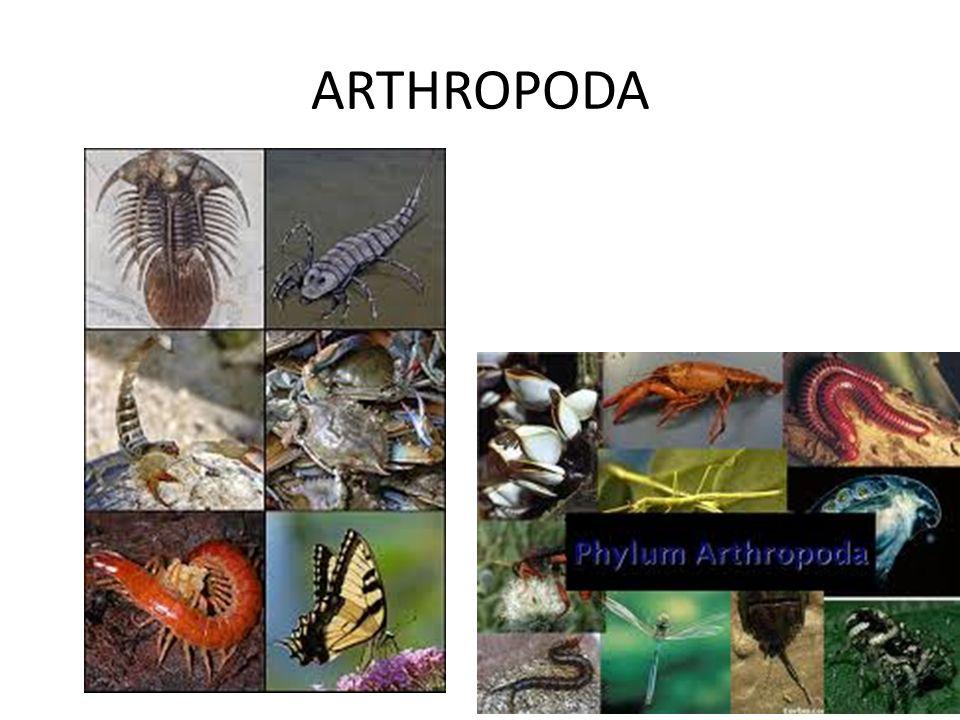 PEDİCULOSİS Yassı ve kanatsızlar Sivri tırnakları vardır.Kirli sarı renktedir Baş göğüsten dardır.Dişi bitler daha büyüktür