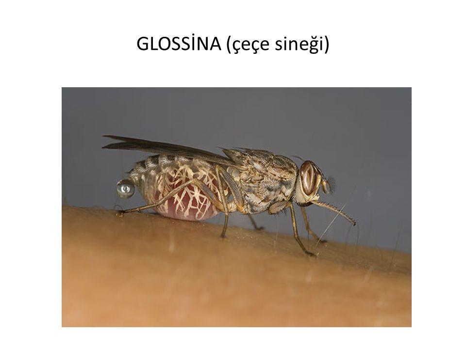 GLOSSİNA (çeçe sineği)