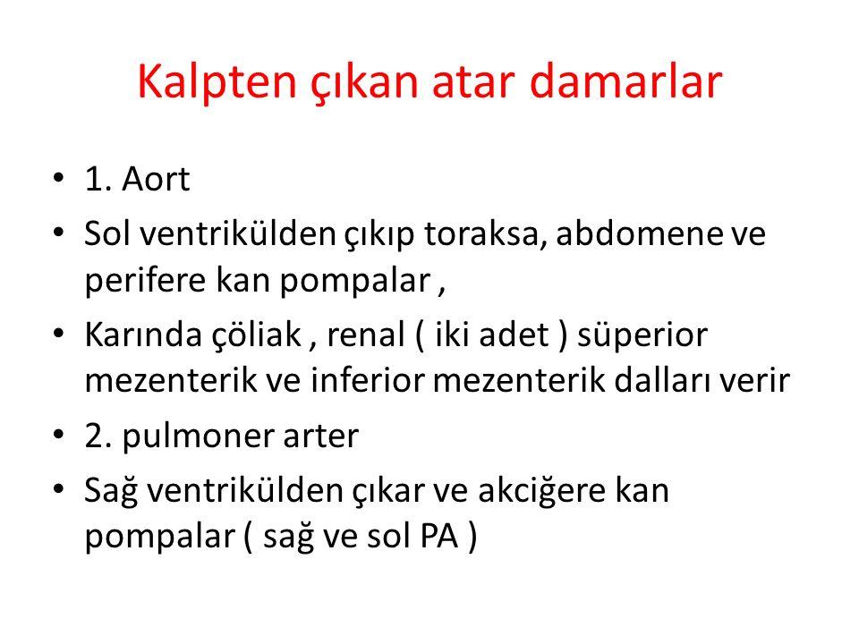 Kalpten çıkan atar damarlar 1. Aort Sol ventrikülden çıkıp toraksa, abdomene ve perifere kan pompalar, Karında çöliak, renal ( iki adet ) süperior mez