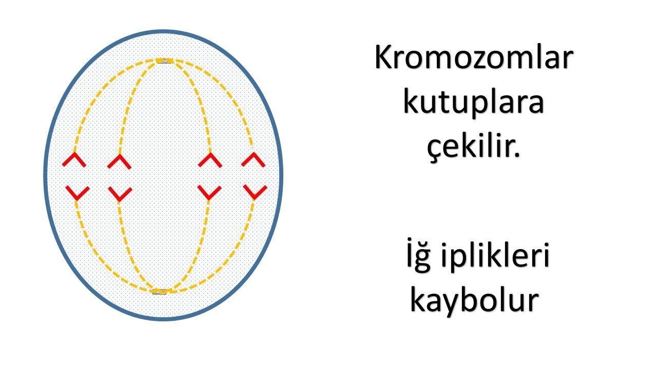 Kromozomlarkutuplaraçekilir. İğ iplikleri kaybolur