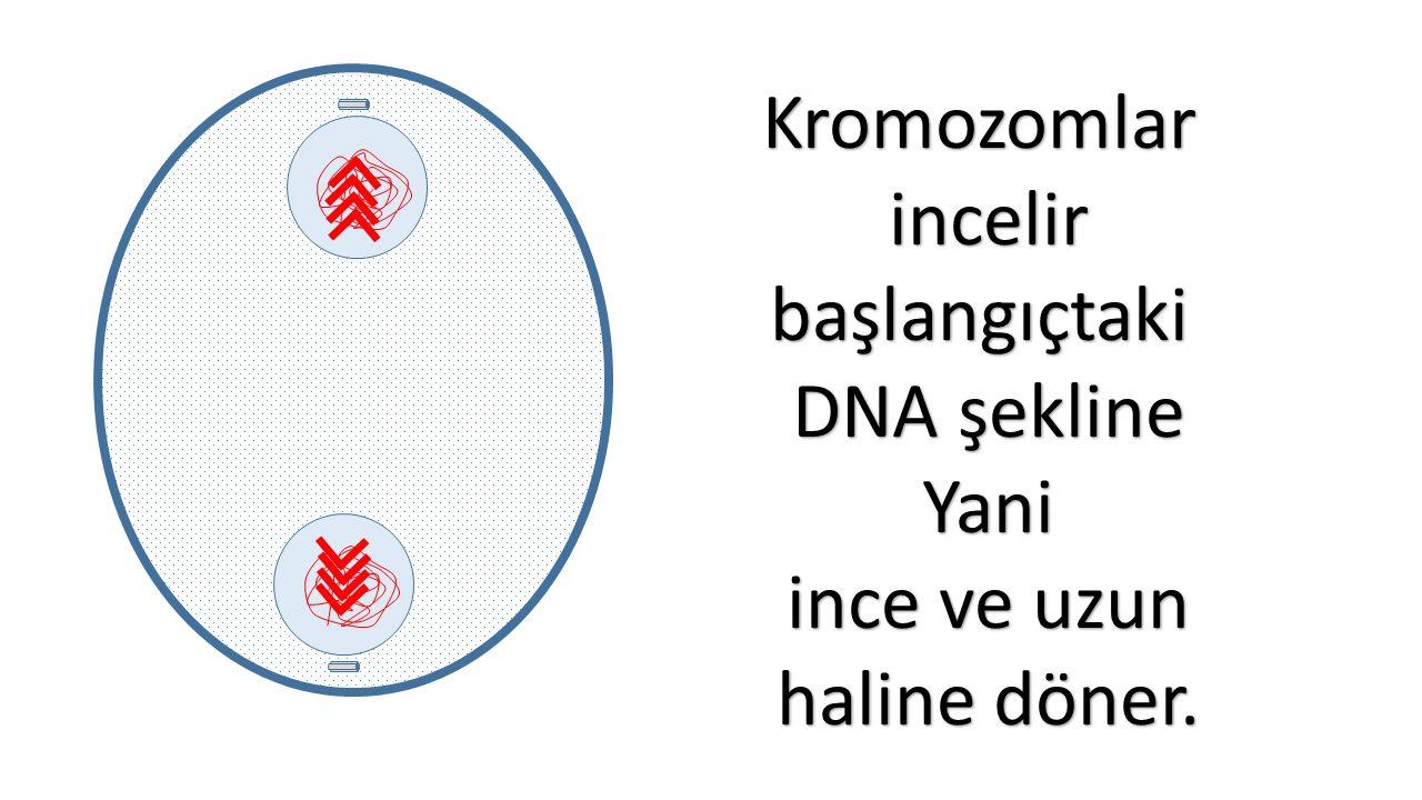 Kromozomlarincelirbaşlangıçtaki DNA şekline Yani ince ve uzun haline döner.