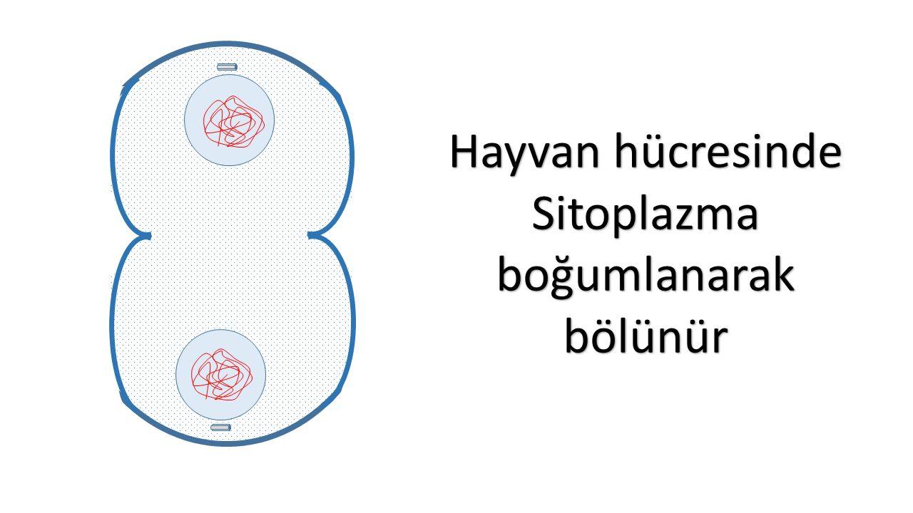 Hayvan hücresinde Sitoplazmaboğumlanarakbölünür
