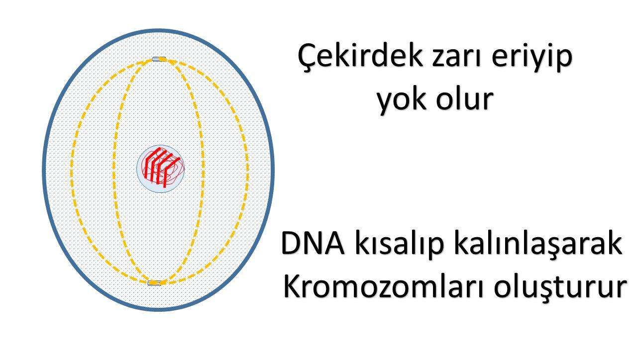 Çekirdek zarı eriyip yok olur DNA kısalıp kalınlaşarak Kromozomları oluşturur