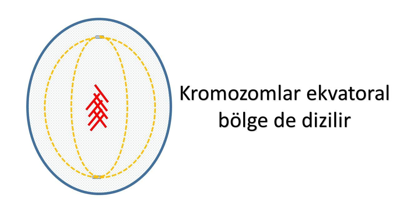 Kromozomlar ekvatoral bölge de dizilir