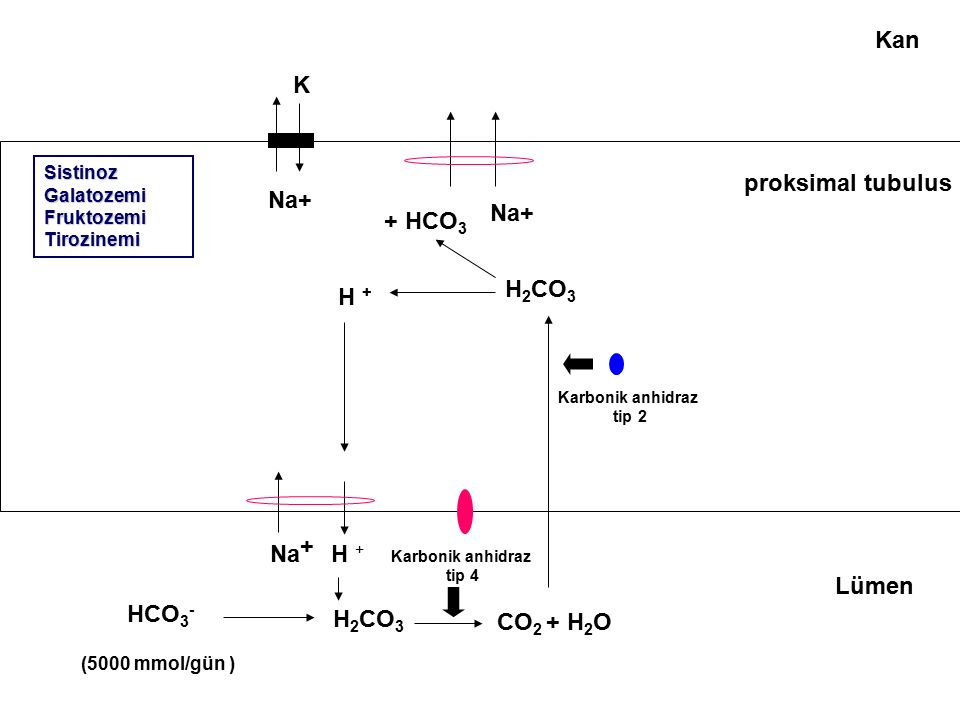 proksimal tubulus HCO 3 - H + Na + Na+ K H 2 CO 3 Karbonik anhidraz tip 4 CO 2 + H 2 O Karbonik anhidraz tip 2 H 2 CO 3 H + + HCO 3 Kan Lümen Na+ (500