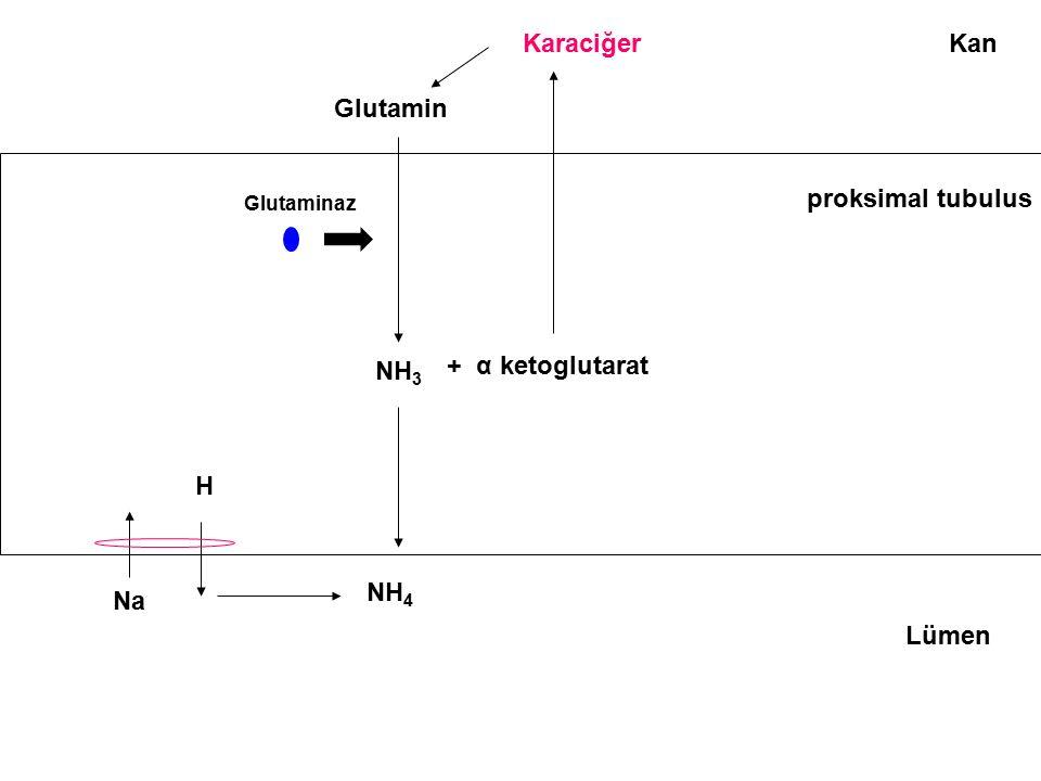 Kan Lümen Glutamin NH 3 + α ketoglutarat Karaciğer proksimal tubulus H Na NH 4 Glutaminaz