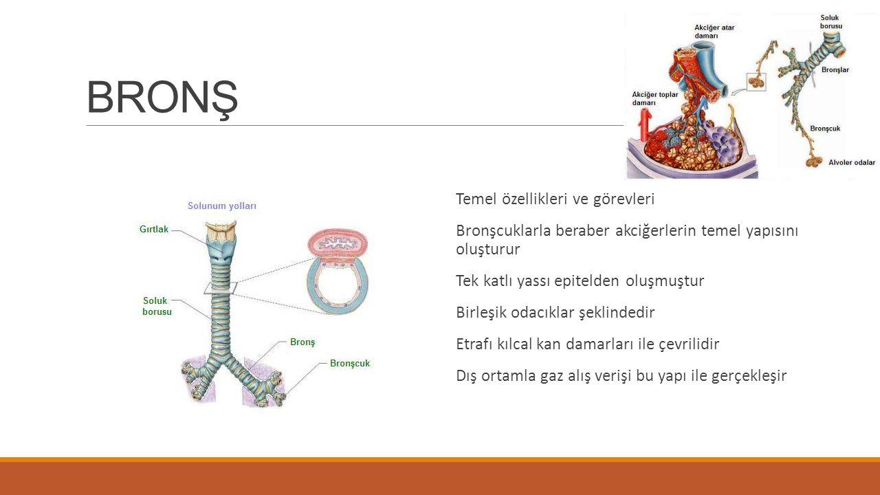 BRONŞ Temel özellikleri ve görevleri Bronşcuklarla beraber akciğerlerin temel yapısını oluşturur Tek katlı yassı epitelden oluşmuştur Birleşik odacıklar şeklindedir Etrafı kılcal kan damarları ile çevrilidir Dış ortamla gaz alış verişi bu yapı ile gerçekleşir