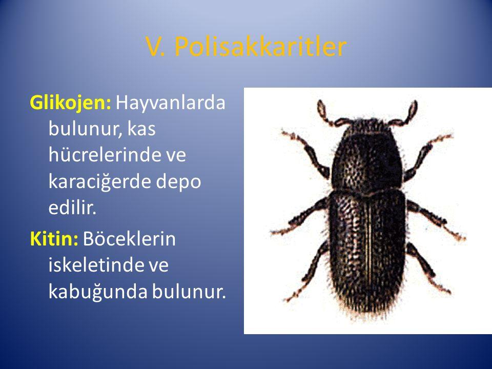 V. Polisakkaritler Glikojen: Hayvanlarda bulunur, kas hücrelerinde ve karaciğerde depo edilir.