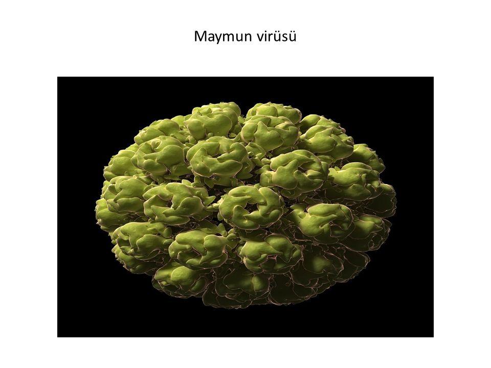 Maymun virüsü