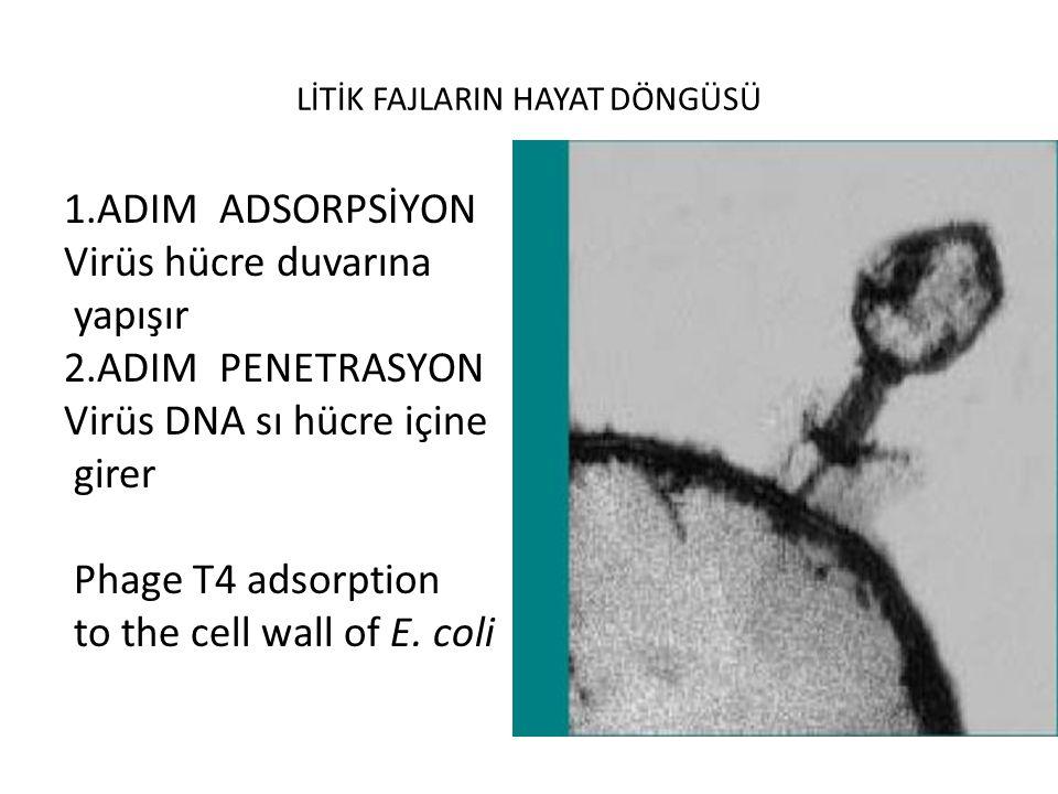 LİTİK FAJLARIN HAYAT DÖNGÜSÜ 1.ADIM ADSORPSİYON Virüs hücre duvarına yapışır 2.ADIM PENETRASYON Virüs DNA sı hücre içine girer Phage T4 adsorption to