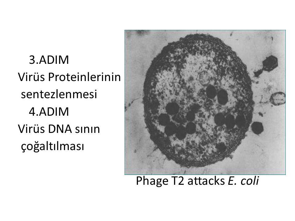 3.ADIM Virüs Proteinlerinin sentezlenmesi 4.ADIM Virüs DNA sının çoğaltılması Phage T2 attacks E. coli