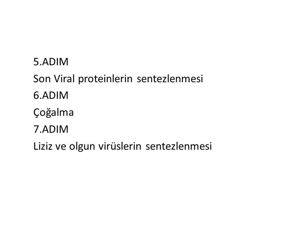 5.ADIM Son Viral proteinlerin sentezlenmesi 6.ADIM Çoğalma 7.ADIM Liziz ve olgun virüslerin sentezlenmesi